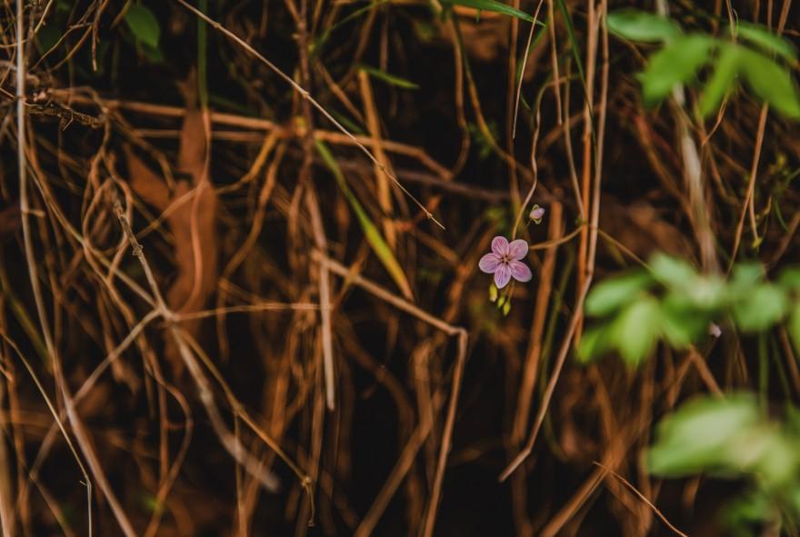 Spring Beauty, Claytonia virginica